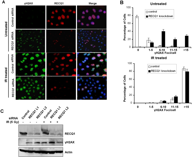 Depletion of RECQ1 leads to spontaneous formation of γ-H2AX foci in the absence of exogenous damage. Panel A, Control or RECQ1 siRNA-treated HeLa cells were grown on coverslips, fixed with formaldehyde and co-immunostained with anti- γ-H2AX and anti-RECQ1 antibodies. The merged picture shows cells stained with anti- γ-H2AX (green) and anti-RECQ1 (red) as well as DAPI (blue). Normal induction of γ-H2AX foci is shown upon IR (5 Gy) exposure in RECQ1 depleted cells. Panel B, Quantitative assessment of γ-H2AX foci in control or RECQ1-depleted cells that have been either untreated or exposed to IR, as described in Panel A . Images of at least 100 cells were captured and used for quantitative analyses of γ-H2AX foci. To avoid bias in the selection of cells, DAPI stained nuclei were randomly selected for γ-H2AX staining. Panel C, HeLa cells were treated with control or RECQ1 siRNA. Following IR exposure or not, cell lysates were immunoblotted with anti-RECQ1, anti- γ-H2AX, or anti-actin antibodies.