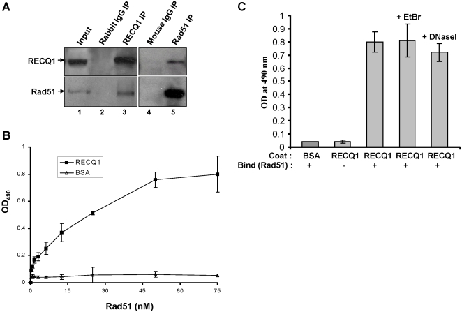 RECQ1 interacts with Rad51. Panel A, Co-immunoprecipitation of RECQ1 and Rad51 from HeLa nuclear extracts. Rad51 was detected in RECQ1 immunoprecipitates (lane 3). RECQ1 was immmunoprecipitated with Rad51 from nuclear extracts as detected by Western blot (lane 5). Lanes 2 and 4 represent immunoprecipitate from control rabbit and mouse IgG, respectively. Input (lane 1) represent 10% of the total protein used for immunoprecipitation. Panels B and C , ELISA for RECQ1-Rad51 interaction. Either BSA or purified recombinant human RECQ1 (14 nM) was coated onto microtiter plates. Following blocking with 3% BSA, appropriate wells were incubated with the indicated concentrations of purified recombinant human Rad51 (0–76 nM, Panel B or 76 nM, Panel C ) for 1 h at 30°C. In Panel C as indicated, DNaseI (100 U/ml) or ethidium bromide (EtBr) (50 µg/ml) was included in the incubation with Rad51 in the binding step in the corresponding wells to test for DNA-mediated protein interaction. Following washing, RECQ1 bound Rad51 was detected by ELISA using rabbit polyclonal antibody against Rad51. The values represent the mean of three independent experiments performed in duplicate with SD indicated by error bars.