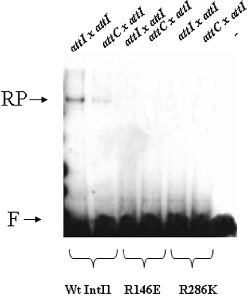 In vitro recombination catalyzed by wild type, R146E and R286K mutated IntI1. Reactions were performed for 90 min in the presence of purified enzyme (5 pmoles), 0.1 pmoles of linear radiolabeled recombination sites attI1 or attC and 0.1 pmoles of pGEM-T- attI1 under standard conditions described in materials and methods section. Products were loaded on 1% agarose gel and autoradiographied. F: free recombination sites, RP: recombination products.