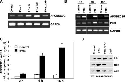 IFN-α induces APOBEC3G expression. (A) Macrophages were not treated (control) or treated with 1–100 ng/ml IFN-α for 18 h in the absence or presence of 1 mM 2-AP, and RNA was analyzed for APOBEC3G by RT-PCR (30 cycles). (B) Macrophages were treated or not with 10 ng/ml IFN-α for the indicated times, and RNA was subjected to RT-PCR to amplify APOBEC3G and PKR mRNA. Representative experiment, n = 3. (C) Macrophages were treated with IFN-α for 2–16 h, and APOBEC3G expression was assessed by real-time PCR as compared with untreated cells cultured in parallel. Data (mean ± SD of triplicates) are presented as fold change from 2-h control macrophages. (D) Cell lysates were obtained after macrophage treatment with 10 ng/ml IFN-α and/or 1 mM 2-AP and assessed for APOBEC3G protein (∼42 kD) by Western blot.