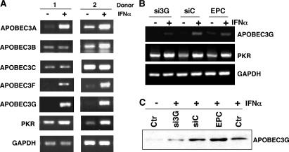 IFN-α augments induction of APOBEC3 family members. (A) RNA was isolated from macrophages (two donors shown) untreated or treated with 10 ng/ml IFN-α for 4 h and evaluated by RT-PCR with primers corresponding to each of the indicated APOBEC3 genes and PKR (30 cycles). GAPDH was used as a parallel control. (B) Monocytes were transfected with APOBEC3G siRNA, cultured for 6 d, stimulated with IFN-α for 4 h, and APOBEC3G and PKR expression was monitored by RT-PCR in comparison with the GAPDH control. (C) Western blot for APOBEC3G protein 6 d after monocyte transfection with siRNA or control RNA, or electroporation only control (EPC), and treatment with or without IFN-α for 20 h. Representative experiment, n = 3.