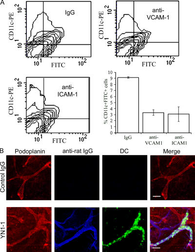 In vivo trafficking of skin DCs via afferent lymphatics is dependent on ICAM-1 and VCAM-1 adhesion. The involvement of ICAM-1 and VCAM-1 in the trafficking of DCs via afferent lymphatics was investigated in mice with oxazolone-induced skin hypersensitivity. (A) Recoveries of FITC + /CD11c + skin DCs in the draining lymph nodes 24 h after FITC skin painting of oxazolone-sensitized mice that received prior injection of neutralizing mAbs to VCAM-1, ICAM-1, or control rat Ig. Data represent the mean recoveries ± SEM (obtained from three separate experiments). (B) To show retention of DCs within the skin, CMFDA-labeled bone marrow–derived DCs from a littermate were intradermally injected into the ear tissue of sensitized mice that received prior injection of a neutralizing mAb to ICAM-1 (YN1-1) or control rat Ig. After 24 h, ears were removed, and whole-mount staining was performed using antipodoplanin with Alexa Fluor 568 (red) and Cy5-conjugated goat anti–rat Cy5 (blue) to detect binding of neutralizing antibody within the tissue. Bars, 100 μm.