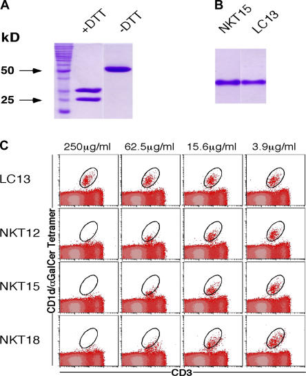 Structural and functional integrity of recombinant soluble NKT TCRs. (A) Purified bacterial NKT15 TCR was analyzed by SDS-PAGE under reducing (+DTT, dithiothreitol) and nonreducing (−DTT) conditions demonstrating αβ heterodimers. (B) Native gel electrophoresis of folded αβ heterodimeric NKT15 and control LC13 TCRs. (C) Recombinant soluble NKT12, NKT15, NKT18, and control LC13 TCRs were tested for their ability to block binding of mouse CD1d/α-GalCer tetramers to murine thymocytes. Phycoerythrin-conjugated mCD1d/α-GalCer tetramers were preincubated with the indicated soluble TCRs over a range of TCR concentrations before staining mouse thymocytes. Cells were analyzed by two-color flow cytometry showing mCD1d/α-GalCer tetramer staining on the vertical axis and <t>FITC-CD3</t> (mAb 145-2C11) staining on the horizontal axis. Cells staining positively with mCD1d/α-GalCer tetramer and FITC-CD3 are indicated with a circle.