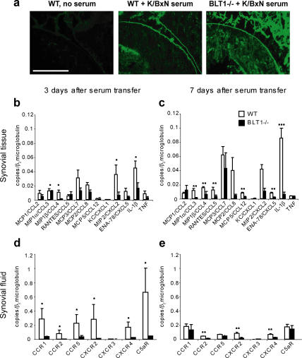BLT1 is required for synovial inflammatory chemokine and cytokine production in inflammatory arthritis. (a) K/BxN serum was administered to WT and BLT1 −/− mice, and ankles were harvested at 7 d. Frozen ankle sections were stained with FITC-labeled F(ab′) 2 fragment directed against the Fc portion of mouse IgG. A WT mouse that did not receive any serum was used as a control. Bar, 230 μm. (b–e) Chemokine expression was measured by qPCR of total RNA isolated from synovial tissue on postserum transfer days 3 (early onset disease) (b) or 7 (early active disease) (c). Chemokine receptor expression was quantified by qPCR of total RNA isolated from synovial fluid at days 3 (d) and 7 (e). Total RNA was extracted from eight individual ankles in each experimental group, and qPCR reactions were run separately on each sample. Error bars represent SEM. *, P