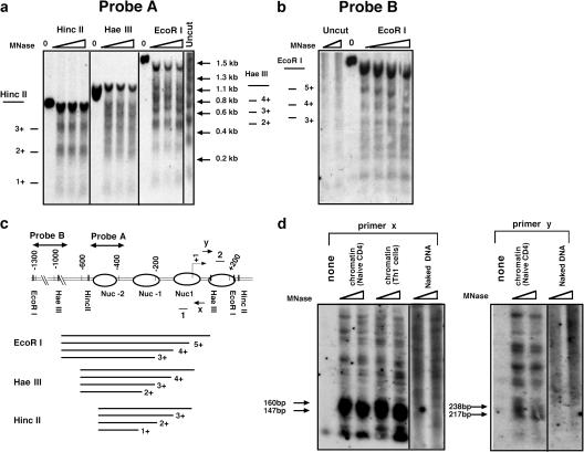 Nucleosomes positioned in IFN-γ promoter chromatin in CD4 T cells. (a and b) Naive CD4 T cells were cross-linked with formaldehyde, and their chromatin was treated with MNase ( 5 , 7 .5, and 10 enzyme units). DNAs were then purified, digested with the indicated RE (or left undigested; 0), and analyzed by Southern blots using a probe indicated in panel c (directly adjacent to the RE site for HincII-cut DNAs [a] or EcoRI digests [b]). (c) Diagram of RE sites and inferred nucleosome positions at the IFN-γ promoter. The fragment used as a probe in Southern blotting and primers used for LM-PCR are shown above the gene; the transcription start site (+1) is indicated by an arrow. (d) LM-PCR mapping of nucleosome boundaries in the IFN-γ promoter. DNA purified from MNase (2.5 and 1 enzyme unit)-cleaved chromatin of naive or Th1 (6-d culture) CD4 T cells was analyzed by LM-PCR using primer x (nucleosome 1) or y (nucleosome 2) and a linker primer and was analyzed by Southern blot probed with an internal oligonucleotide (1 and 2 for nucleosomes 1 and 2). As a control for MNase cleavage preferences in DNA, pure cellular DNA was analyzed using the same preparation of MNase, linker ligation, and PCR (naked DNA). Shown is an autoradiograph representative of five independent experiments.
