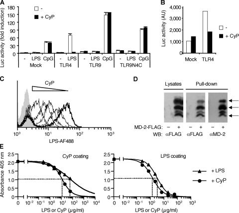 CyP inhibits LPS at the level of MD-2–TLR4 extracellular domain. (A) Luciferase activity of Jurkat cells transfected with a 3×NF-κB–driven luciferase reporter together with empty vector (Mock) or expression vectors encoding either TLR4, TLR9, or a chimera of extracellular TLR9 and intracellular TLR4 (TLR9N4C) and stimulated with 1 μg/ml LPS or 3 μM CpG. Reporter activity was measured after 16 h of LPS stimulation in the absence (white bars) or presence (black bars) of 20 μg/ml CyP. Similar results were obtained at 6 h of stimulation. Data represent the mean ± SD of duplicates of one experiment of two performed with identical results. (B) Spontaneous luciferase activity in Jurkat cells transfected with a 3×NF-κB–driven luciferase reporter together with an empty vector (Mock) or an expression vector encoding TLR4. Reporter activity in the absence (white bars) or presence (black bars) of CyP was measured 40 h after transfection in a 6-h assay. (C) Monocytes were stained with LPS conjugated to Alexa Fluor 488 (0.25 μg/ml LPS-AF488) in the absence (thick line) or presence (thin lines) of increasing concentrations of CyP (0.25, 12.5, 125, and 250 μg/ml) and analyzed by FACS. Background fluorescence of monocytes is shown as a gray profile. One representative experiment of four is shown. Fig. S3 shows the EC50 of CyP inhibiting LPS binding. (D) HEK293T cells mock transfected or transfected with MD-2–FLAG were either lysed and probed for MD-2 expression with anti-FLAG antibodies or treated with 20 μg/ml biotinylated CyP. Biotinylated CyP was then captured with immobilized streptavidin, and MD-2 coprecipitates were detected with anti-FLAG antibodies. Stripped blots were subsequently probed with anti–MD-2 antibodies. Arrows indicate specific bands of differentially glycosylated MD-2 (reference 63 ). (E) Recombinant human MD-2 (1 μg/ml, fixed concentration) was incubated in wells coated with CyP (left) or LPS (right) in the presence of increasing concentrations of soluble LPS o