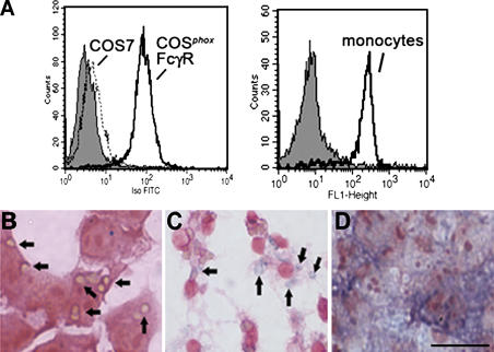 Expression of FcγIIA receptor, phagocytosis, and NADPH oxidase activity. (A) Analysis of FcγIIA expression by flow cytometry using an FITC-conjugated antibody against CD32 is shown for COS7 and COS phox FcγR cells (left) and human peripheral blood monocytes (right) as indicated. The gray histogram indicates staining of either COS phox FcγR or monocytes with an FITC-conjugated isotype control mAb. (B and C) Phagocytosis of IgG–sheep RBCs in media containing NBT. (B) COS phox FcγR cells incubated with IgG-RBCs for 30 min at 37°C. Many of the ingested IgG-RBCs, which appear tan, are indicated by arrows. (C) Murine bone marrow–derived macrophages incubated with IgG-RBCs for 10 min at 37°C. Formazan-stained phagosomes, indicative of intraphagosomal superoxide production, are indicated by arrows. (D) COS phox FcγR cells incubated with 100 ng/ml phorbol myristate acetate for 30 min, showing diffuse formazan deposits. Bar, 30 μm.