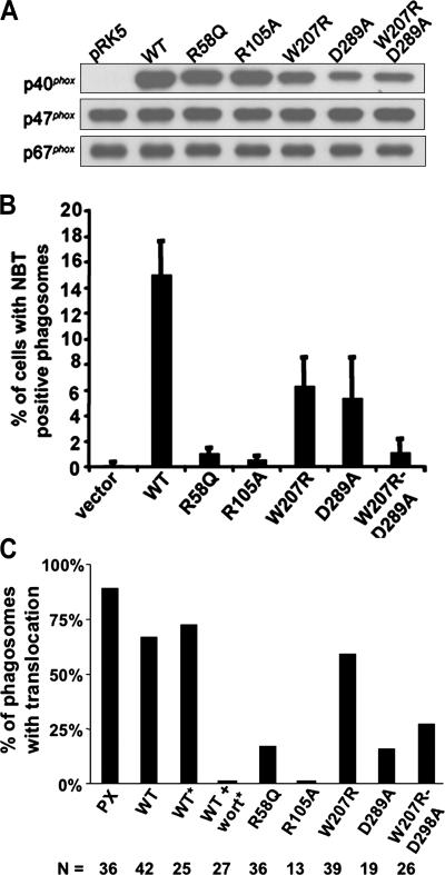 Expression of p40 phox mutants in COS phox FcγR cells and effect on IgG–sheep RBC–elicited NADPH oxidase activity. Data shown is representative of at least three independent experiments. (A) Immunoblot of cell lysates from COS phox FcγR cells transfected with 0.67 μg of either empty pRK5 or pRK5 containing cDNAs for either wild-type or mutant p40 phox . Blots were probed with antibodies for p40 phox , p47 phox , and p67 phox . (B) COS phox FcγR cells were transfected as in A and incubated with IgG-RBCs in the presence of NBT for 30 min at 37°C. The percentage of cells with NBT + phagosomes is shown as the mean ± SD ( n = 4 except for W207R/D289A, where n = 3). (C) COS phox FcγR cells were transfected as in A for expression of YFP-tagged wild-type or mutant derivatives of p40 phox as indicated or a YFP-tagged PX domain of p40 phox and incubated with IgG–sheep RBCs or with IgG latex beads (*) without or with 50 nM wortmannin, followed by confocal microscopy. Individual phagosomes were scored for either the presence (black bars) or absence of YFP-p40 phox or YFP-p40PX translocation. The number of phagosomes scored for each construct is also shown. Data was collected from two to four independent experiments.