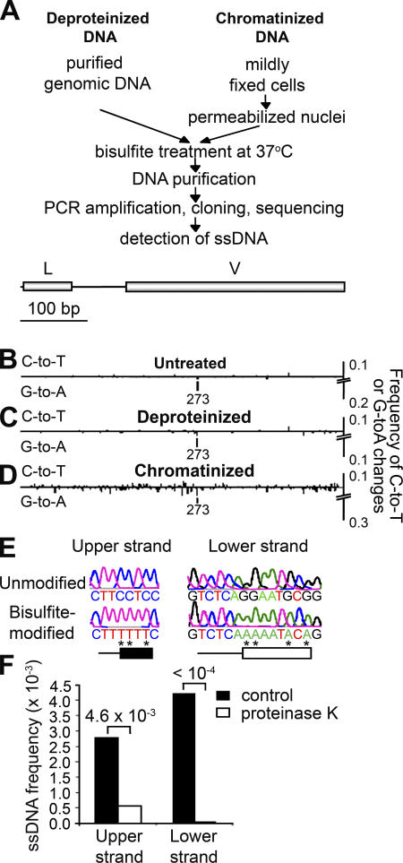A method to detect ssDNA in the context of chromatin.  (A) Two assays were used to detect ssDNA, one using purified genomic DNA (Deproteinized DNA) (reference   18 ) and another using DNA in fixed nuclei (Chromatinized DNA). Both kinds of substrates were treated with bisulfite, amplified, cloned, and sequenced as described in Materials and methods. (B–D) Frequency of C to T conversions (indicative of ssDNA on the noncoding strand) and G to A conversions (indicating ssDNA on the template strand) was measured for untreated DNA (B), deproteinized DNA (C), and chromatinized DNA (D) treated with bisulfite in the  IgH V  region of Ramos cells (depicted above the diagrams). L indicates the leader sequence. Position 273 is a hotspot for G to A mutations. (E) Examples of ssDNA patches on the coding and noncoding strands. Asterisks indicate bases that have been converted by bisulfite. Because the length of these patches cannot be determined exactly, the minimum size is shown as boxes, whereas the maximum size is shown as a horizontal line. (F) The frequency of ssDNA patches was calculated for  IgH V  region in chromatinized DNA from Ramos 7 cells untreated (control) or pretreated with proteinase K. Numbers above the bar graphs indicate p-values calculated using the Chi-squared test. The results are representative of three experiments. Sample sizes are indicated in Table S2.