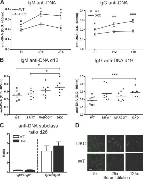 Class A scavenger receptors regulate tolerance against i.v. injected apoptotic cells. (A) 10 7 syngeneic apoptotic cells were injected i.v. four times weekly in WT and MARCO −/− /SR-A −/− DKO mice (C57BL/6 background). IgM and IgG anti-DNA responses in serum were measured pre-immune (PI) at days 12 and 19. Data are shown as mean ± SEM ( n = 8 per genotype). (B) The anti-DNA response in WT, MARCO −/− , SR-A −/− , and DKO mice at days 12 (IgM) and 19 (IgG). Individual data and mean are presented ( n = 8 per genotype). As a control in these experiments, a quantitative analysis of serial dilution of pooled MRL lpr sera that develop spontaneous disease revealed that the levels of IgM and IgG anti-DNA antibodies are ∼5–40 times that of WT mice injected with apoptotic cells. The PI values for MARCO −/− and SR-A −/− were not statistically different from WT controls (not depicted). (C) Subclass analysis of the anti-DNA response at day 26, after the fourth injection of apoptotic cells. Data are shown as mean ± SEM of the OD 405-nm ratio between IgG 2a /IgG 2b and IgG 1 ( n = 8 per genotype). (D) Representative ANA pattern from DKO and WT mice after the fourth injection (d26). Bar, 50 μm. *, P