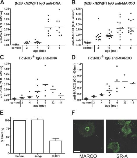 Anti-MARCO antibodies are found in SLE-prone mice. (A and C) IgG anti-DNA levels in 2–8-mo-old (NZB x NZW)F1 mice and in 3–14-mo-old FcγRIIB −/− mice. Control mice are 3-mo-old C57BL/6 mice. (B and D) IgG anti-MARCO reactivity in 2–8-mo-old (NZB x NZW)F1 mice, 3–14-mo-old FcγRIIB −/− mice, and 3-mo-old C57BL/6 mice. (E) Binding to MARCO in the anti-MARCO ELISA blocked with a rat monoclonal antibody (ED31) against MARCO, but not with an isotype control ( n = 2). (F) CHO cells transfected with mouse MARCO or SR-A stained with sera from (NZB x NZW)F1 mice and anti–mouse IgG-FITC. Arrows indicate transfected cells stained by the mouse sera. Bar, 20 μm.