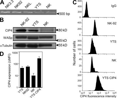 CIP4 expression in NK cells. (A) RT-PCR for CIP4 message in NK cell lines and ex vivo NK cells. (B) Western blot (10 μg of protein per lane) for CIP4 in NK92, YTS, and ex vivo NK cells, as well as WASp and α-tubulin after stripping and reprobing membranes. (C) Intracellular CIP4 FACS using CIP4 mAb or IgG clone MOPC21 (in YTS cells as a specificity control, which was comparable with IgG control for the other cell types). Ex vivo NK cells were identified by FACS in total PBMCs by costaining for CD3 and CD56 and gating on CD3 − , CD56 + lymphocytes (NK). (D) The increase in CIP4 mean fluorescence intensity (MFI) over control IgG detected by FACS for YTS, NK92, ex vivo NK, and CIP4 YTS cells in three experiments and with six different donors of ex vivo cells is shown. IgG MFI was determined in parallel with each repeated assessment of CIP4. Error bars represent the SD.