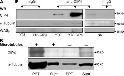 Associations of endogenous and overexpressed CIP4. (A) CIP4 was precipitated from lysates of 2 ×10 6 YTS CIP4 cells, 2 ×10 6 parental YTS cells, or 2 × 10 7 ex vivo NK cells using mAb anti-CIP4. Immunoprecipitation with nonspecific mouse isotype-matched mAb IgG (mIgG) is shown as a control. CIP4 was identified in immunoprecipitates by Western blotting using anti-CIP4 mAb (top). Blots were stripped and reprobed for α-tubulin (middle) and WASp (bottom; blots represent three to six independent results). (B) YTS cell lysates cleared of nuclei and debris were incubated with or without stabilized microtubules, after which microtubules and associated proteins were precipitated. CIP4 and α-tubulin were identified by Western blotting in the supernatant (Supt) and precipitate (PPT).