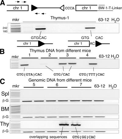 A hotspot for Dβ1 RSS transposition (event b196). (A, top) Diagram of the captured Jβ1.1-RSS12 (open triangle) integration into chromosome 1 showing the PCR strategy used to assay for the corresponding Dβ1-RSS23 (filled triangle) integration. (middle) The negative image of an ethidium-stained agarose gel analysis of PCR products (189 bp) from 6 thymus DNA samples from the same animal. (bottom) Results of DNA sequence analysis with the junction sequence shown. Lane 63–12 is a RAG-2 –deficient pro-B cell line. (B) PCR analysis of the Dβ1-RSS23 insertion into chromosome 1 using two aliquots of thymus DNA from each of four different mice ( 1 – 4 ). The DNA sequence at the chromosome 1–Dβ1 RSS junction is indicated below each amplified product. Nucleotides in parentheses are N regions. (C) PCR analysis of Dβ1-RSS23 insertion into chromosome 1 in two separate aliquots of thymus (Thy), spleen (Spl), and bone marrow (BM) DNA from three additional mice ( 5 – 7 ). β-Globin control PCR products (labeled β-G) show that similar amounts of DNA were amplified in each case. The chromosome 1—Dβ1-RSS23 products were sequenced as indicated. Overlapping sequences denote multiple sequences present in a single PCR band.