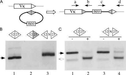 Signal joints can undergo recombination with chromosomal RSSs. (A) Diagram of a strategy to detect insertion of a transfected recombination signal circle at a Vκ RSS. The arrows indicate PCR primers used to detect RSS insertion events. Triangles represent RSSs (hatched, TCRβ D or J; unfilled, Vκ RSS-12). (B) Agarose gel analysis of PCR assays (primers a and b) for RSS insertion in genomic DNA purified from cells transfected with wild-type (lane 1), RSS-23 mutant (lane 2), or N region–containing (lane 3) TCRβ signal circle plasmids. Arrow denotes the predicted ∼119-bp PCR products that were confirmed by DNA sequence analysis. (C) Agarose gel analysis of PCR assays (primers c and d) using DNA purified from cells transfected with wild-type (lanes 1 and 2) and N region–containing (lanes 3 and 4) signal joint plasmids. PCR products were either digested (+) or not (-) with restriction endonuclease ApaL1, which cleaves precise signal joints. Filled arrow, predicted 142-bp PCR product; open arrow, 115-bp ApaLI-cleaved product.
