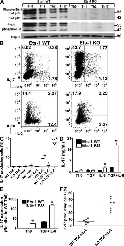 Ets-1 KO Th cells produce increased levels of IL-17. Total Th cells derived from WT or Ets-1 KO mice were cultured as described in the Materials and methods. (A) After 5 d in culture under Th0, Th1, Th2, or Th17 conditions, cells were restimulated with PMA/ionomycin for 10 min and lysed. Whole-cell extract was analyzed by Western blotting using antibodies against Ets-1 or phospho-T38 Ets-1. An antibody against Hsp90 was used as loading control. (B) Total Th cells from WT and Ets-1 KO mice were cultured under Th17 conditions for 5 d and restimulated with PMA/ionomycin. Cytokine production was assessed by ICS. The numbers represent the percentages of cells stained positive for the indicated cytokines. (C) Total Ets-1 KO and WT Th cells were differentiated for 5 d in the presence of WT irradiated splenocytes and indicated cytokines, and the production of IL-17 in response to PMA/ionomycin stimulation was analyzed by ICS. The percentages of IL-17–positive cells from five independent experiments are shown. (D) Some of the differentiated Th cells (at 1 million cells/ml) generated in C were restimulated with 0.1 μg/ml of plate-bound anti-CD3 for 24 h, and the level of IL-17 protein in the supernatant was measured by ELISA. (E) A fraction of the PMA/ionomycin-restimulated cells from C were analyzed for IL-17 expression by real-time PCR analysis. (F) Naive WT and Ets-1 KO Th cells were differentiated under Th17 conditions, and the production of IL-17 by the differentiated cells was analyzed by ICS after 5 d. Cumulative results of six independent experiments are shown. Data are presented as the mean ± the SD. *, P