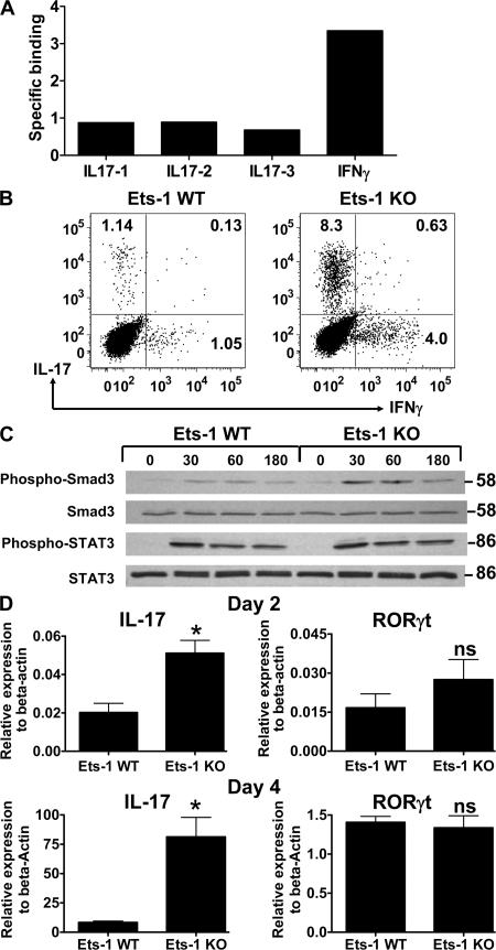 Ets-1 does not bind to the IL-17 promoter or interfere with early signaling events during Th17 differentiation. (A) CHIP was performed on WT Th17 cells using anti–Ets-1 antibody. Binding to conserved Ets sites in the IL-17 and IFN-γ genetic region was analyzed by real-time PCR. Relative binding was calculated as described in the Materials and methods. (B) Total WT and Ets-1 KO Th cells were plated on anti-CD3–coated plates and given anti-CD28, but in the absence of APC, and skewed to the Th17 lineage with IL-6 and TGFβ1 for 5 d. The production of indicated cytokines by the differentiated Th cells was measured by ICS. (C) Freshly isolated total WT and Ets-1 KO Th cells were stimulated with TGFβ1 and IL-6 for the indicated number of minutes. The levels of phospho-Smad3, total Smad2/3, phospho-STAT3, and total STAT3 were examined with Western blotting. (D) Naive Th cells were cultured under Th17 conditions, and RNA was harvested on day 2 or 4 and analyzed for expression of IL-17 and RORγt by real-time PCR. Data are representative of three independent experiments and are presented as the mean ± the SD. *, P