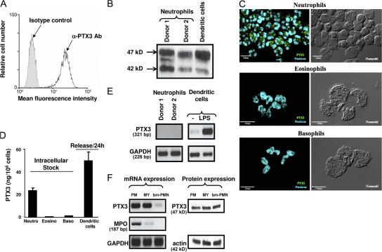 PTX3 is constitutively expressed in human neutrophils. (A) FACS analysis of PTX3 expression in permeabilized human neutrophils isolated from peripheral blood. (B) Western blot analysis of PTX3 expression in neutrophils and LPS-stimulated DCs. (C) Analysis of PTX3 expression in freshly isolated neutrophils, eosinophils and basophils by confocal microscopy. Fluorescence (left) and differential interference contrasts (right, Nomarski technique) are shown. Bars, 10 μm. (D) Analysis of PTX3 content in freshly isolated neutrophils, eosinophils, and basophils, as well as release by LPS-stimulated DCs, determined by ELISA (mean ± SD). (E) Analysis of PTX3 mRNA expression in freshly isolated human neutrophils by RT-PCR. Results obtained in 2 out of 10 subjects tested are presented. LPS-stimulated DCs are used as a positive control. RNA integrity and cDNA synthesis were verified by amplifying GAPDH cDNA. (F) Analysis of PTX3 mRNA and protein in neutrophil precursors. Promyelocytes (PM), myelocytes/metamyelocytes (MY), and bone marrow–segmented neutrophils (bm-PMN) were analyzed for PTX3 and MPO mRNA expression (left). Expression of PTX3 was evaluated by Western blotting using the anti-PTX3 mAb 16B5 in the three populations of neutrophil precursors (right), and total protein loading was evaluated by analyzing actin expression.
