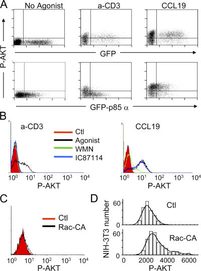 Absence of a Rac- and class Ia PI3K–dependent PIP3 amplification system in T lymphocytes. (A) Human PBT cells transfected with EGFP or EGFP-p85α were left unstimulated or stimulated with either soluble 10 μg/ml anti-CD3 for 15 min or 100 ng/ml CCL19 for 2 min, fixed, stained with anti–P-AKT, and analyzed by flow cytometry. (B) PBT cells were preincubated in the presence of medium alone, 100 nM WMN for 30 min, or IC87114 for 30 min, and were stimulated with either anti-CD3 or CCL19, stained, and analyzed as in A. Results are representative of three independent experiments. The y axis corresponds to the number of T cells. (C) PBT cells were transfected with vector alone or vector encoding a constitutively active (CA) form of Rac. P-AKT was detected by flow cytometry as in Fig. 1 B . The y axis corresponds to the number of T cells. (D) NIH-3T3 fibroblasts were transfected with vector alone or vector encoding a constitutively active (CA) form of Rac. P-AKT was detected on adherent cells by immunofluorescence.