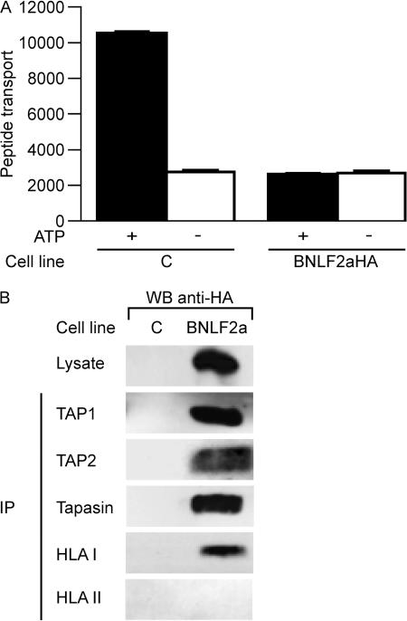EBV BNLF2a blocks peptide transport by TAP. (A) TAP-dependent peptide transport in BNLF2aHA-expressing and control MJS cells was assessed by permeabilizing the cells with streptolysin O and incubating them with a fluoresceinated peptide in the presence or absence of ATP. Translocated peptides that had become glycosylated in the endoplasmic reticulum were recovered by adsorption to concanavalin A–sepharose beads. After elution, the recovered peptide was quantitated by fluorometry in arbitrary units. Error bars represent the SEM of triplicates in a representative experiment. (B) Digitonin lysates of BNLF2aHA- expressing and control MJS-GFP cells were subjected to immunoprecipitation (IP) with antibodies specific for TAP1 (148.3), TAP2 (435.4), tapasin (R.gp46C), HLA class I heavy chains (HC10), and HLA class II DRα chains (DA6-147). Cell lysates and immune complexes were separated by SDS-PAGE, followed by Western blot analysis and staining with anti-HA antibody (12CA5) to detect HA-tagged BNLF2a.