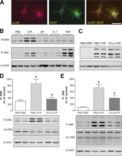 ATLa prevents ATP-evoked ERK and JNK phosphorylation in primary astrocyte cultures. (A) Representative images demonstrating that ALXR colocalizes with the astrocyte marker GFAP in cultured primary astrocytes. Bar, 50 μm. (B) Western blots probed for phosphorylated ERK and JNK in samples from primary astrocytes stimulated with ATP, SP, IL-1β, and TNF-α for 15 min. Incubation with 10 nM ATLa, starting 30 min before TNF-α stimulation, had no effect on JNK phosphorylation (C), whereas ATLa prevented both ERK and JNK phosphorylation evoked by ATP (D and E). Each bar represents the mean ± SEM ( n = 4–5). *, P