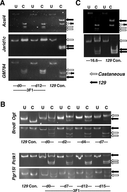 Allele-Specific Analysis of X-Linked Gene Expression during Differentiation of Hybrid ( 129 × castaneous ) Female ES Cells (A) Electrophoretic separation of cDNA restriction fragments from the three cluster 4 genes Acsl4 , Jarid1c , and GM784 reveals allele-specific expression. PCR fragments that are specific for each gene were prepared from cDNAs from undifferentiated (day 0) or differentiated (day 12) 3F1 hybrid ES cells. Fragments were uncut (U) or cut (C) with restriction enzymes, so as to reveal SNPs that distinguish m.m.domesticus ( 129 , black arrows) and m.m.castaneous (white arrows) alleles. Small double arrows show where bands of the same size are generated from 129 and castaneous . For all three genes, the expected 129 product is missing from both undifferentiated (day 0) and differentiated (day 12) cells, showing that expression is exclusively from the castaneous allele. cDNA from the male CCE/R ES cell line provided the 129 control. Details of primers, restriction enzymes, and expected fragment sizes are given in Table S5 . (B) Electrophoretic separation of cDNA restriction fragments from four X-linked genes Ogt , Brodl , Pctk1 , and Pgr15l to reveal allele-specific expression in 3F1 hybrid female ES cells at different days of differentiation (days 0–15 as indicated); labelling as for (A). (C) In undifferentiated 16.6 hybrid female ES cells, cluster 4 gene Acsl4 (upper gel) shows monoallelic expression ( castaneous allele only) while Jarid1c (lower gel) is expressed from both alleles; labelling as for (A).