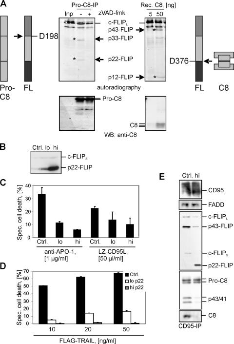p22-FLIP is generated by procaspase-8 and inhibits death receptor–induced apoptosis. (A) Procaspase-8 was immunoprecipitated from HUT78 cells using anti–caspase-8 mAb C15 and then incubated for 1 h at 37°C together with in vitro–translated [ 35 S]-labeled c-FLIP L in the presence or absence of zVAD-fmk. c-FLIP processing was analyzed by autoradiography (top left). c-FLIP cleavage products p22 and p33 are indicated. Afterward, the same membrane was subjected to Western blot analysis using anti–caspase-8 mAb C15 (bottom left). [ 35 S]-labeled c-FLIP L was incubated with the indicated concentrations of recombinant caspase-8 for 1 h at 37°C. c-FLIP processing was analyzed byautoradiography (top right). c-FLIP cleavage products p12 and p43 are indicated. Afterward, the same membrane was subjected to Western blot analysis using anti–caspase-8 mAb C15 (bottom right). (B) Analysis of p22-FLIP expression in BJAB cell lines stably overexpressing high or low amounts of p22-FLIP (p22-FLIP high or p22-FLIP low , respectively). Endogenous expression of c-FLIP S is used as a loading control. (C) p22-FLIP high , p22-FLIP low , and vector-transfected BJABs (Ctrl.) were stimulated with 1 μg/ml anti–APO-1 antibodies or 50 μl/ml LZ-CD95L for 16 h. Specific cell death was calculated as described in Materials and methods. (D) p22-FLIP high , p22-FLIP low , and vector-transfected BJABs (Ctrl.) were stimulated with the indicated concentrations of FLAG-TRAIL for 16 h. (E) CD95 DISCs were immunoprecipitated from 5 × 10 7 cells of p22-FLIP high and vector-transfected BJABs (Ctrl.) and analyzed by Western blot with anti–caspase-8 mAb C15, anti-FLIP mAb NF6, anti-CD95 polyclonal antibody C20, and anti-FADD mAb.