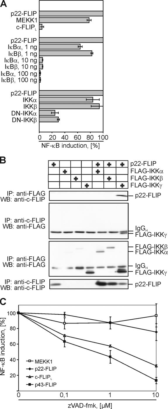 p22-FLIP induces NF-κB by direct interaction with the IKK complex. (A) 293T cells were cotransfected with luciferase reporter plasmid and either MEKK1, p22-FLIP, or c-FLIP L (top part of the diagram). 293T cells were cotransfected with p22-FLIP, the luciferase reporter plasmid, and any one of the constructs IκBα, IκBβ, WT-IKKα, WT-IKKβ, mutated IKKα, or IKKβ (bottom part of the diagram). Transfection efficiency was examined using GFP transfections. NF-κB luciferase activity was determined as described in Materials and methods. (B) FLAG or FLIP immunoprecipitations were performed from 293T cells that were transfected with p22-FLIP and any one of the constructs FLAG-IKKα, FLAG-IKKβ, or FLAG-IKKγ. Immunoprecipitated products were subjected to 12% SDS-PAGE gels and analyzed by Western blot using anti-FLIP mAb NF6 and anti-FLAG mAb. (C) 293T cells were cotransfected with MEKK1, p22-FLIP, c-FLIP L , p43-FLIP, and the luciferase reporter plasmid. Transfected cells were incubated for 16 h in the presence of the indicated concentrations of zVAD-fmk and lysed, and NF-κB luciferase activity was determined.