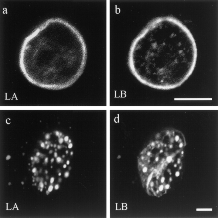 Double label immunofluorescence showing nuclear lamin patterns in a normal interphase BHK cell and in a cell injected with ΔNLA. Nuclei were stained for lamins A/C ( LA ) ( a and c ) or lamin B ( LB ) ( b and d ). In the uninjected cell, there is a distinctive lamin rim as well as less intense nucleoplasmic foci ( a and b ), as previously described ( 39 ). In cells fixed 2 h after injection, the lamin rim is no longer obvious, and the lamin staining for both lamins A/C and B appears mainly in the same foci ( c and d ). Confocal optics showing sections through the mid-region of the nucleus. Bar, 5 μm.