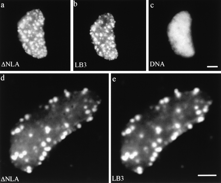 Nuclei assembled in an interphase extract containing ΔNLA. ( a–c ) Conventional fluorescence images of lamin and DNA patterns of a nucleus stained for ( a ) human LA, ( b ) Xenopus LB3, and ( c ) DNA. ( d and e ) Confocal images of a disrupted nucleus stained for ( d ) human LA and ( e ) Xenopus LB3. The endogenous lamin structure has been disrupted and LB3 appears in foci colocalizing with ΔNLA. Bar, 5 μm.