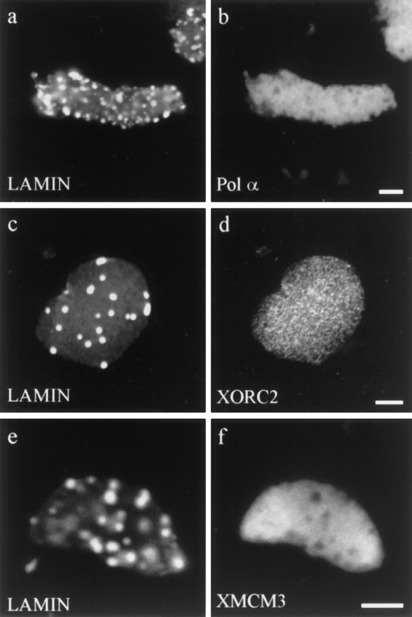 Nuclei formed in the presence of ΔNLA, and then subsequently stained for ΔNLA or lamin B3 and one of several early DNA replication markers. ( a and b ) Nucleus stained for ( a ) ΔNLA and ( b ) DNA polymerase α. ( c and d ) Nucleus stained for ( c ) LB3 and ( d ) XORC2. ( e and f ) Nucleus stained for ( e ) LB3 and ( f ) XMCM3. The distribution of DNA polymerase α, XORC2, and XMCM3 is not altered by the disruption of the lamin structure. Confocal microscopic images showing sections through the middle of the nuclei. Bar, 5 μm.