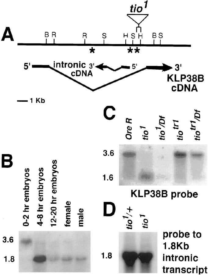 Molecular organization of the tio gene. ( A ) Top line: Restriction map of the 20 kb of genomic <t>DNA</t> containing tio . Lower lines: Exon/intron map of the 3.6-kb KLP38B transcript and the 1.8-kb transcript contained within its large intron. The tio 1 P element is inserted within the intron of the 3.6-kb transcript, in a 700-bp PvuII-HindIII fragment upstream of the 5′ end of the cDNA representing the 1.8-kb transcript. The tio 24-0 (*) and tio 93-E (**) inserts were mapped to the intron of the 3.6-kb transcript by Alphey et al. ( 3 ), roughly as shown by the asterisks. The exact relationship of the tio 24-0 and tio 93-E inserts to the position of the intronic transcript was not published in Alphey et al. ( 3 ). ( B ) Developmental Northern probed with a cloned genomic fragment showing the two transcripts (3.6 and 1.8 kb) derived from the genomic DNA flanking the tio 1 P element insert. Both transcripts were present in all stages studied, although the 3.6-kb transcript was more abundant in 0–2-h embryos and the 1.8-kb transcript was more abundant in 4–8-h embryos. ( C and D ) Northern analysis of polyA + RNA from third instar larvae of the indicated genotypes hybridized with ( C ) a <t>DIG-labeled</t> 5′ fragment from the KLP38B cDNA or ( D ) an antisense riboprobe generated from the cDNA representing the 1.8-kb transcript. Note that in C , instead of the wild-type 3.6-kb transcript, a truncated 1.6-kb transcript appeared in tio 1 homo- or hemizygotes. The transcript returned to normal size in larvae homo- or hemizygous for tio tr1 , a transposase-induced true revertant of tio 1 . In contrast, no change was observed in the 1.8-kb transcript in tio 1 animals ( D ).