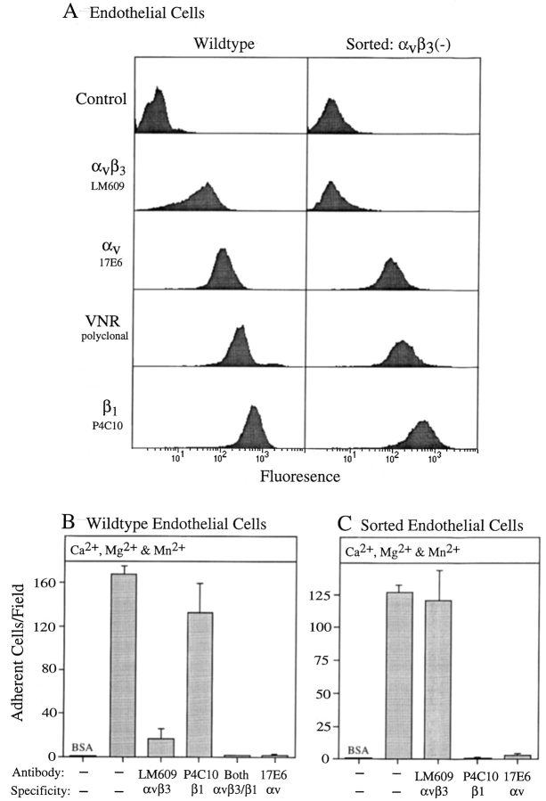 ( A ) Integrin profiles of wild-type ECV304 human umbilical vein endothelial cells or ECV304 cells repeatedly sorted for a lack of α v β 3 expression. ( B and C ) α v β 3 - and α v β 1 -dependent adhesion of wild-type or sorted ECV304 endothelial cells to L1-Ig6. ( A ) Integrin expression is represented by FACS ® histograms. Cells were treated with antibodies to α v integrins (mAb 17E6), to α v β 3 (mAb LM609), to α v or β 3 integrin subunits (polyclonal VNR), or to β 1 integrins (mAb P4C10). These cells were subsequently stained with fluorescein-conjugated goat anti–mouse or goat anti– rabbit antibodies and were analyzed using a FACScan ® flow cytometer. Control cells were treated with secondary fluorescein-conjugated antibody only. ( B and C ) Wild-type or sorted cells were allowed to adhere to immobilized L1-Ig6 fusion protein offered at 40 μg/ml. Adhesion was performed in the presence of Ca 2+ (2 mM), Mg 2+ (2 mM), and Mn 2+ (0.4 mM). Some cells were pretreated with antibody to α v β 3 (mAb LM609; 80 μg/ml), to β 1 integrins (mAb P4C10; 80 μg/ml), to α v integrins (MAb 17E6; 80 μg/ml), or with a combination of antibodies. After 40 min non- adherent cells were removed by washing and the remaining adherent cells counted per unit area with a ×15 high powered objective. Both , a combination of the two preceding antibodies. Experimental treatments were performed in triplicate with a minimum of four areas counted per well. Error bars represent ±1 SD.