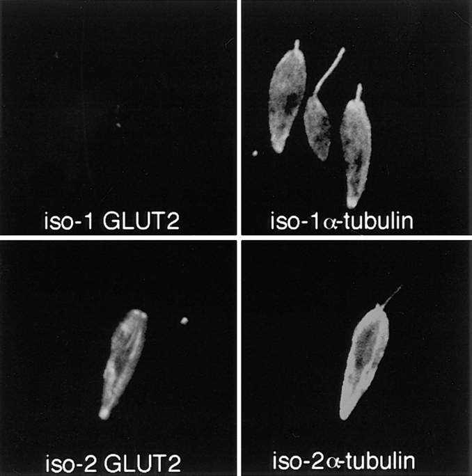 Double-label confocal laser scanning micrographs of Triton X-100–extracted L. enriettii promastigotes transfected with plasmid encoding epitope-tagged iso-1 ( top ) or epitope-tagged iso-2 ( bottom ) and stained with the rabbit anti-GLUT2 antibody directed against the epitope tag ( GLUT2 ) and the murine anti–α-tubulin antibody ( α-tubulin ). Cytoskeletons were fixed with methanol, stained with 1:500 dilutions of the anti-GLUT2 antibody and anti-α-tubulin antibodies, and then with an FITC-conjugated anti–rabbit IgG ( GLUT2 ) and a rhodamine-conjugated anti–mouse IgG ( α-tubulin ) secondary antibody. Cytoskeletons were examined by confocal microscopy. Each micrograph represents a single 0.5-μm section through each field.