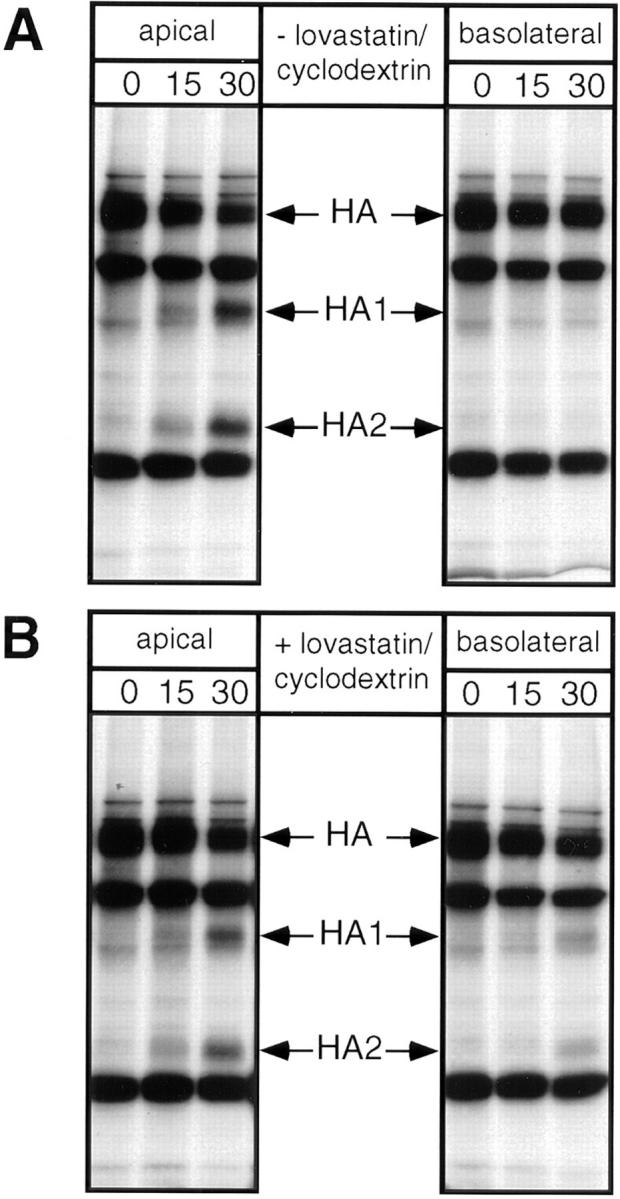 Removal of cholesterol from MDCK cells leads to partial missorting of influenza virus HA. Filter-grown MDCK cells were treated with lovastatin/mevalonate and methyl-β-cyclodextrin as detailed in Materials and Methods. After pulse labeling with [ 35 S]methionine and a TGN block at 19.5°C, HA was chased to the cell surface for different times at 37°C. Arrival on the apical or basolateral membrane, respectively, was detected by trypsin treatment. ( A ) untreated control cells; ( B ) cells treated with lovastatin/mevalonate and methyl-β-cyclodextrin. HA1 and HA2 are the products generated from HA by trypsin cleavage. The duration of transport (in minutes) is indicated above the lanes.