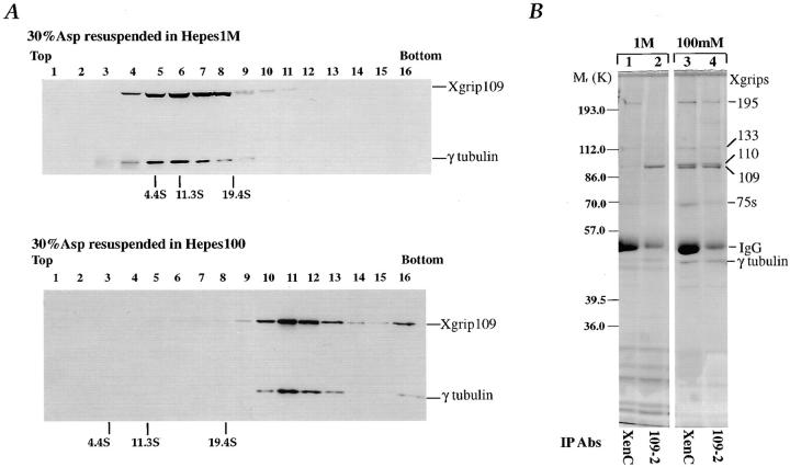 Xgrip109 interacts directly with γ tubulin. ( A ) γTuRC is dissociated in high salt. Clarified Xenopus egg extracts were first precipitated with 30% ammonium sulfate. The pellet ( 30% Asp ) was resuspended in either Hepes 1 M (refer to Materials and Methods) or Hepes 100. The resuspended proteins were fractionated on 5–40% sucrose gradients. The sucrose gradient standards used were bovine serum albumin ( 4.4S ), bovine liver catalase ( 11.3S ), and bovine thyroglobulin ( 19.4S ). The protein standards used (indicated at the bottom of each panel in A ) were dissolved in either Hepes 1 M or Hepes 100 and then fractionated under identical conditions. Gradient fractions were collected from the top and each fraction was analyzed by SDS-PAGE followed by Western blotting with XenC and 109-2 antibodies. ( B ) A fraction of the γ tubulin remains associated with Xgrip109 in high salt. Immunoprecipitations with XenC (lanes 1 and 3 ) or 109-2 antibodies (lanes 2 and 4 ) were carried out using 30% Asp resuspended in either Hepes 1 M (lanes 1 and 2 ) or Hepes 100 (lanes 3 and 4 ). The precipitated proteins were separated by SDS-PAGE and then stained by Coomassie blue. The γTuRC components ( Xgrips ) are indicated by their respective molecular masses.