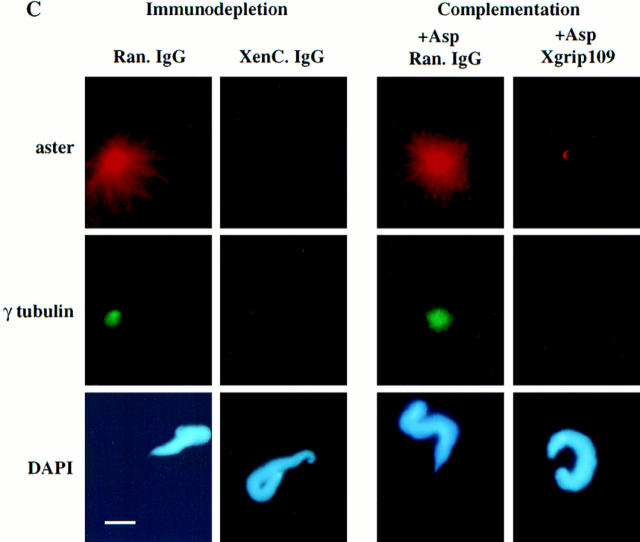 Xgrip109 is essential for the formation  of a functional centrosome. ( A ) Western analysis  of the immunodepleted extract, 30% Asp, and  30% ammonium sulfate supernatant probed with  XenC and 109-2. Lanes  1  and  2 : clarified extract  immunodepleted with either random IgG (lane   1 ) or XenC (lane  2 ). Judging by the absence of  γ tubulin and Xgrip109, XenC depleted the  γTuRC (lane  2 ). Lane  3 , 30% ammonium sulfate  supernatant that does not contain detectable  γTuRC as expected. Lane  4 , 30% Asp resuspended in Hepes 1 M. Lanes  5  and  6,  30% Asp  resuspended in Hepes 1 M and then immunodepleted using either random IgG (lane  5 ) or 109-2  (lane  6 ). Lanes  7  and  8  are the same as lanes  5   and  6 , respectively, except that the proteins were  desalted into Hepes 100, and concentrated ∼20-fold. Lanes  5–8  show that immunodepletion of  Xgrip109 in 1 M KCl removed only a fraction of  γ tubulin (compare γ-tubulin signals in lanes  5   and  6 ), whereas Xgrip109 is completely depleted.  ( B ) Quantitation of the complementation assay.   Red columns , percentages of sperm with microtubule asters nucleated from the assembled centrosomes;  blue columns , percentages of sperm  without microtubule asters;  white columns , percentages of sperm with assembled centrosomes  that nucleated only a few disorganized microtubules;  Ran. IgG , centrosome formation assays  carried out with clarified extracts that were immunodepleted with random IgG. Over 80% of  the sperm centrioles assembled into centrosomes.  XenC. IgG , centrosome formation assays carried out with clarified extracts that were  immunodepleted of γTuRC using XenC IgG.  The centrosome assembly activity was abolished.  + Asp Ran. IgG , 30% Asp that was resuspended  in Hepes 1 M and immunodepleted with random  IgG complemented the γTuRC-depleted extract  to assemble centrosomes. + Asp Xgrip109 , 30%  Asp that was resuspended in Hepes 1M and immunodepleted of Xgrip109 did not complement  the γTuRC-depleted extract to assemble centrosomes. ( C ) Representative sperm nuclei with or without a microtubule aster from the assays in  B  are shown. The microtubules were  labeled by the addition of a small amount of rhodamine-tubulin in the assays. γ Tubulin was detected using an anti–γ-tubulin monoclonal antibody GTU-88 ( Sigma Chemical Co. ) and a fluorescein-conjugated goat anti–mouse secondary antibody. γ Tubulin is not recruited to the centrosome in the absence of Xgrip109. The sperm DNA was stained by DAPI. Bar, 10 μm.