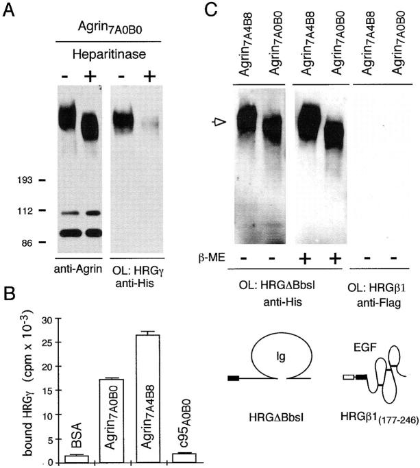 Binding of HRGs to agrin is mediated by GAG chains at the NH 2 -terminal part of agrin and requires the Ig-like domain of NRGs. ( A ) Transfer blot overlay assay of native full-length cAgrin 7A0B0 ( Heparitinase −) or enzyme-treated cAgrin 7A0B0 ( Heparitinase +) with HRGγ ( OL: HRGγ ). Treatment with heparitinase causes a shift in the molecular weight of full-length agrin as indicated by immunoblot analysis using anti-agrin antibodies ( anti-Agrin ) and strongly reduces binding of HRGγ. ( B ) HRGγ binds to full-length agrin isoforms but not to COOH-terminal agrin fragments. Solid phase radioligand-binding assay of 125 I-HRGγ to immobilized full-length agrin isoforms, Agrin-c95 A0B0 and BSA. Mean values ± SEM ( n = 3) of bound 125 I-HRGγ (in cpm). ( C ) The Ig-like domain of HRGs is sufficient to bind to full-length agrin. Transfer blot overlay assays ( OL ) of Agrin 7A4B8 and Agrin 7A0B0 with HRGΔBbsI in the presence (+) or absence (−) of 10 mM β-mercaptoethanol ( β-ME ) and detection with anti-His primary antibody ( arrow ). The Ig domain of HRGs binds to immobilized agrin even under reducing conditions, indicating that the disulfide bond of the HRG Ig domain might not be critical for interaction with agrin. In contrast, no binding is detected in overlay assays with HRGβ1 (177–246) and anti–FLAG M1 primary antibody. Schematic representations of the HRG fragments used in this overlay experiment are indicated.