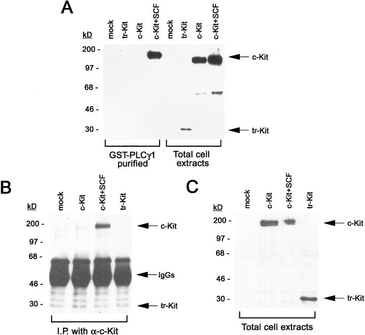 Tr-kit does not stably associate with PLCγ1. ( A ) COS cells were transfected with no DNA ( mock ), or 20 μg/dish pCMV5-c-kit ( c-kit ), or 20 μg/dish pCMV5-tr-kit ( tr-kit ). C-kit–transfected cells were incubated for the final 10 min with or without 100 ng/ml SCF. Cell extracts were either analyzed immediately in Western blot (50 μg in each lane) with an anti-kit antibody ( right side of the panel ), or incubated for 2 h with a GST-PLCγ1-SH2SH2SH3 fusion protein linked to glutathione–agarose beads. Proteins bound to the beads were eluted as described under Materials and Methods and analyzed in Western blot using an anti-kit antibody ( left side of the panel ). ( B ) Cells were transfected as described in A with tr-kit or c-kit expression vectors. Cell extracts were immunoprecipitated using an anti-kit antibody preadsorbed to protein A–Sepharose beads. Immunoprecipitated proteins were analyzed in Western blot using an anti-phosphotyrosine antibody. The band recognized by the anti-phosphotyrosine antibody with a molecular size similar to the one expected for tr-kit is present in all the samples, regardless of tr-kit presence, indicating that this band is due to a different tyrosine-phosphorylated protein present in the anti-kit immunoprecipitates from COS cells. ( C ) Cell extracts (50 μg) from the same samples shown in B were analyzed in Western blot using an anti-kit antibody. All panels are representative of at least three separate experiments.