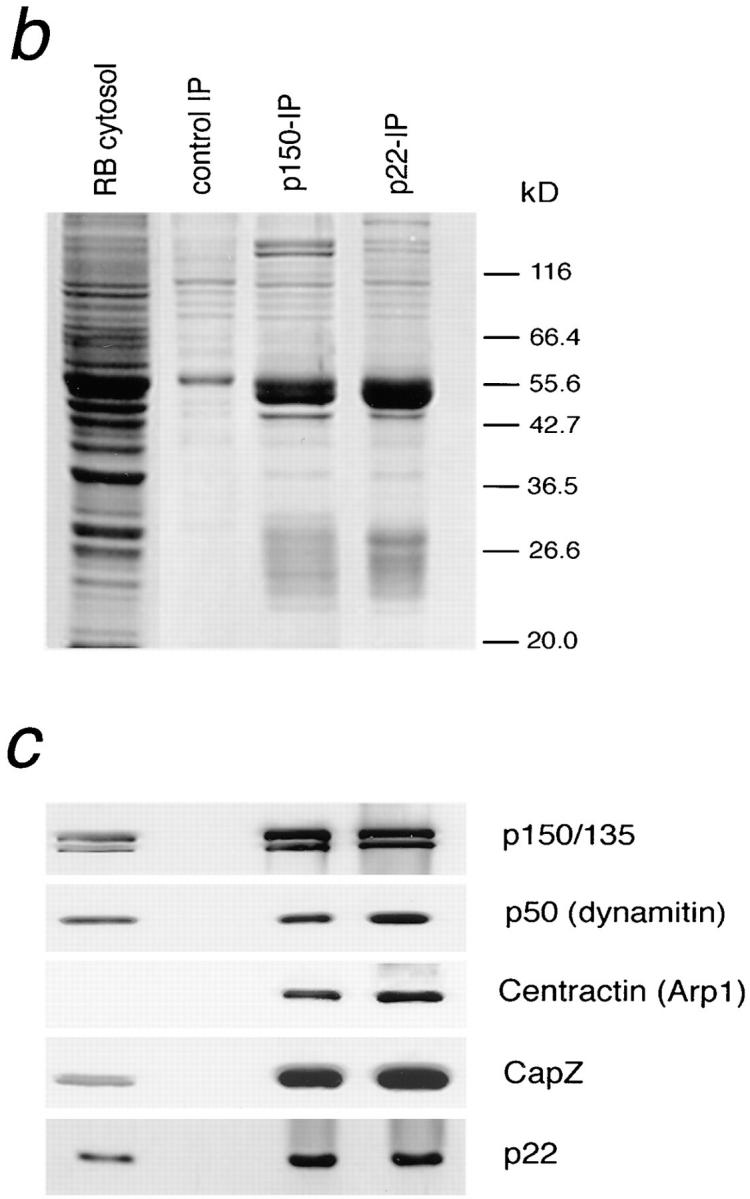 ( a ) p22 binding to the DIC column is blocked by p150 Glued . Two identical DIC affinity columns were constructed. One column was blocked with excess p150 Glued ( fifth through seventh lanes ), whereas the other was blocked with BSA as a control ( second through fourth lanes ). Rat brain cytosol (1 ml) was then loaded ( first lane ), and the 1 M NaCl eluates ( fourth and seventh lanes ) were analyzed by Western blotting. Amounts of sample loaded in load and flow through lanes are equivalent (4 μl each), as are wash and 1 M eluate lanes (20 μl each from a total of 50 μl TCA precipitate). The results show that, like other dynactin subunits, p22 does not bind to a DIC column that is preblocked with p150 Glued . ( b and c ) p22 antibody immunoprecipitates the dynactin complex. Immunoprecipitations were carried out using antibodies to p150 Glued (1.5 ml), p22 (0.7 ml), and beads only (control) on rat brain cytosol (1 ml each). After thorough washing with RIPA buffer, the precipitates were eluted with 100 μl 1× Laemmli sample buffer. 1 μl each of control and anti-p150 Glued precipitate and 2 μl of anti-p22 precipitate were loaded and analyzed by SDS-PAGE ( b ) followed by Western blotting ( c ). A panel of dynactin subunit was used. The results demonstrate that p22 antibody coprecipitates the same subunits coprecipitated by anti-p150 Glued antibody.