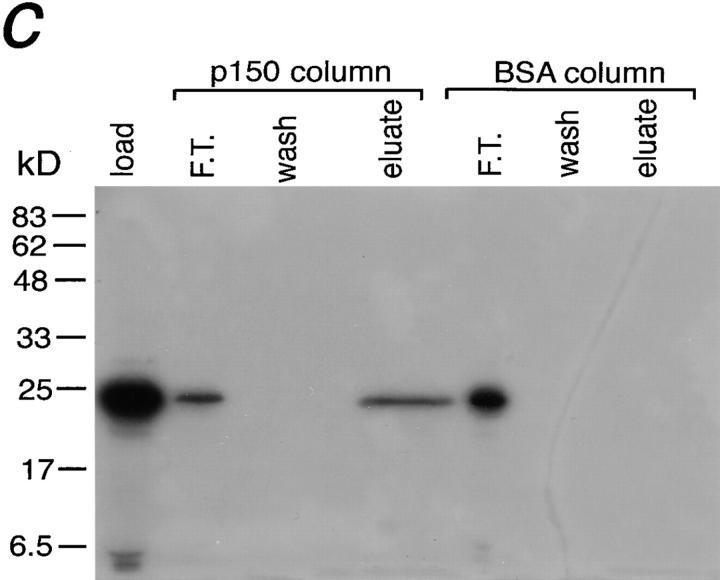 p22 binds to the p150 Glued subunit of dynactin. ATP-extract (500 μl) prepared from five rat brains was incubated with PBS alone (control) or with recombinant p50 (dynamitin) and subjected to linear density sucrose gradient (5–20%) for 18 h at 4°C in a Beckman SW41.Ti rotor at 32K rpm. Approximately 0.9-ml fractions were collected, and the fractions were analyzed by SDS-PAGE followed by Western blotting using antibodies to p150 Glued , Arp1, p50, and p22. In a , all subunits probed peak exclusively at fraction 5, corresponding to the 20- S peak. However, incubation of ATP-extract with recombinant p50 partially disrupts the dynactin complex as indicated by the presence of p150 Glued at fractions 9–11 ( b ). Interestingly, p22 is also found at the second peak at fraction 10. Note that the heavy p50 staining in b is due to excess recombinant p50 used for dynactin disruption. ( c ) A p150 Glued affinity column and a BSA control column were constructed and loaded with in vitro–translated and radio-labeled recombinant p22. The columns were extensively washed and eluted with 1 M NaCl. The loaded material ( load ), flow-through ( F.T. ), wash, and the eluate samples were analyzed by SDS-PAGE followed by autoradiography.