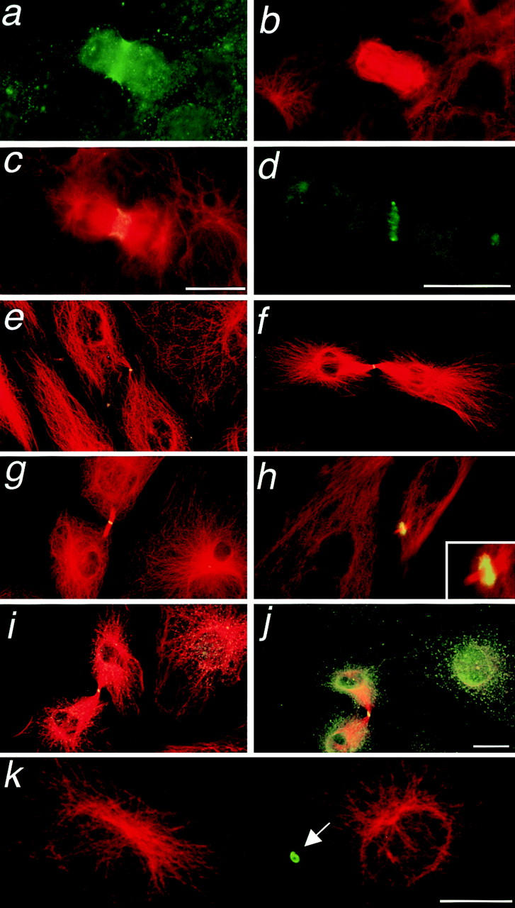 Epifluorescence m icrographs demonstrating immunolocalization of dynein and dynactin to the cleavage furrow and to midbody of dividing cells. A Rat2 cell undergoing cytokinesis is stained for p22 ( a ) and tubulin ( b ). A separate Rat2 cell visualized for both p22 and tubulin staining ( c ). A Ptk2 cell undergoing cytokinesis stained for p22 shows the enrichment of this polypeptide at the cleavage furrow ( d ). Ptk2 cells were double-stained with antitubulin and anti-p22 ( e and f ), anti-p150 Glued ( g and h ), or antidynein heavy chain ( i and j ). Note the prominent localization of both dynein and dynactin at the midbodies revealed by yellow spots. Occasionally, striking rings of p150 Glued around the midbodies were observed ( h , inset ), which seemed to be persistent even after the completion of cytokinesis ( k , arrow ). Bar in c is for a–c ; bar in j is for e–j . Bars, 5 μm.
