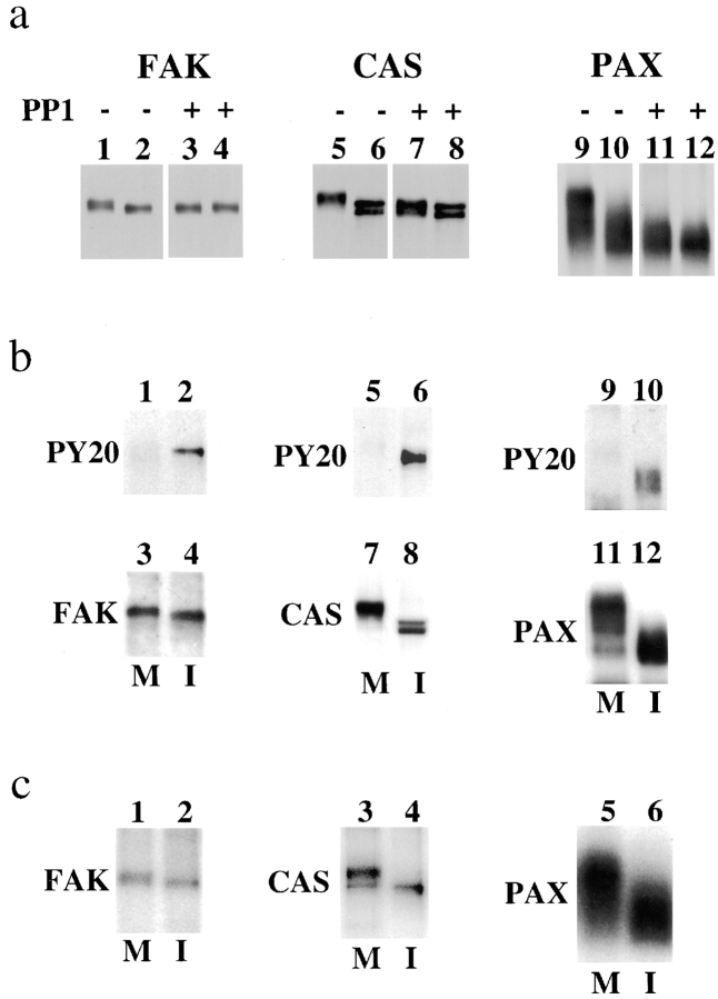 Serine phosphorylation is responsible for the mobility shifts. (a) Loss of mobility shifts by the treatment with PP1. FAK, CAS, and paxillin (PAX) were immunoprecipitated under condition I from mitotic (odd numbered lanes) or from interphase (even numbered lanes) cells, and half of the immunoprecipitates (lanes 3, 4, 7, 8, 11, and 12) were treated with PP1 to dephosphorylate phosphoserine and phosphothreonine. Note that PP1 treatment eliminates or greatly decreases the mobility shifts shown by mitotic FAK (compare lanes 1 and 3), CAS (compare lanes 5 and 7), and paxillin (compare lanes 9 and 11). (b) Tyrosine dephosphorylation of FAK, CAS, and paxillin during mitosis. FAK, CAS, and paxillin (PAX) were again immunoprecipitated under condition I from mitotic (lanes M) and interphase (lanes I) cells. The immunoprecipitates were first immunoblotted with PY20 (top; lanes 1, 2, 5, 6, 9, and 10), and then reprobed with FAK, CAS, and paxillin antibodies (bottom; lanes 3, 4, 7, 8, 11, and 12). Note that PY20 reacts strongly with the immunoprecipitates prepared from interphase but not from mitotic cells, indicating that mitotic FAK, CAS, and paxillin are dephosphorylated at tyrosine residues. (c) Phosphate incorporation of FAK, CAS, and paxillin. FAK, CAS, and paxillin were immunoprecipitated under condition I from mitotic (lanes M) and interphase (lanes I) cells that had been labeled in vivo with 32 P inorganic phosphate. The 32 P-labeled immunoprecipitates were analyzed by SDS-PAGE followed by autoradiography. The levels of 32 P incorporation in mitotic FAK, CAS, and paxillin are not greatly increased because serine phosphorylation is negated by tyrosine dephosphorylation.