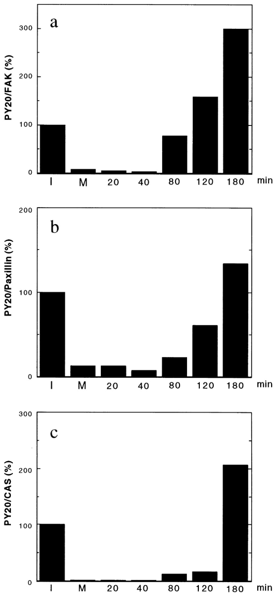 Tyrosine rephosphorylation of FAK (a), paxillin (b), and CAS (c) during post-mitotic cell spreading. FAK, CAS, and paxillin were immunoprecipitated from interphase cells (I), mitotic cells (M), and cells released from mitotic arrest (numbered lanes, n = min removed from nocodazole). The immunoprecipitates were transferred to PVDF membranes, first immunoblotted with PY20, then reprobed with the antibodies against FAK, paxillin, and CAS. The levels of phosphotyrosine are shown by ratios (100% for interphase level) of the levels of PY20 reactivities divided by the levels of FAK, paxillin, or CAS. Note that FAK exhibits the fastest recovery of tyrosine rephosphorylation as well as the greatest increase in tyrosine phosphorylation during 80– 180 min after the release of mitotic arrest.