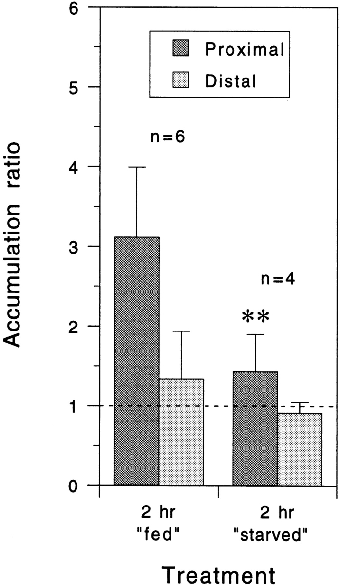 Quantitative analysis of neurofilament protein accumulation proximal and distal to the constriction site after constriction for 2 h in the presence or absence of metabolic substrates. Each column represents the mean accumulation ratio for the number of cells indicated and the error bars represent the standard deviation about the mean as described in the legend to Fig. 5 . For these experiments, the L-15-based culture me dium was replaced with a simpler <t>Dulbecco's</t> <t>PBS-based</t> medium with or without 0.6% glucose and 0.055% sodium pyruvate (fed and starved, respectively). The mean proximal accumulation ratio in the presence of glucose and pyruvate was lower than for axons constricted for the same period of time in L-15-based medium (Fig. 5 A) but it was, nevertheless, reduced significantly when these two substrates were omitted ( P = 0.01, t test).