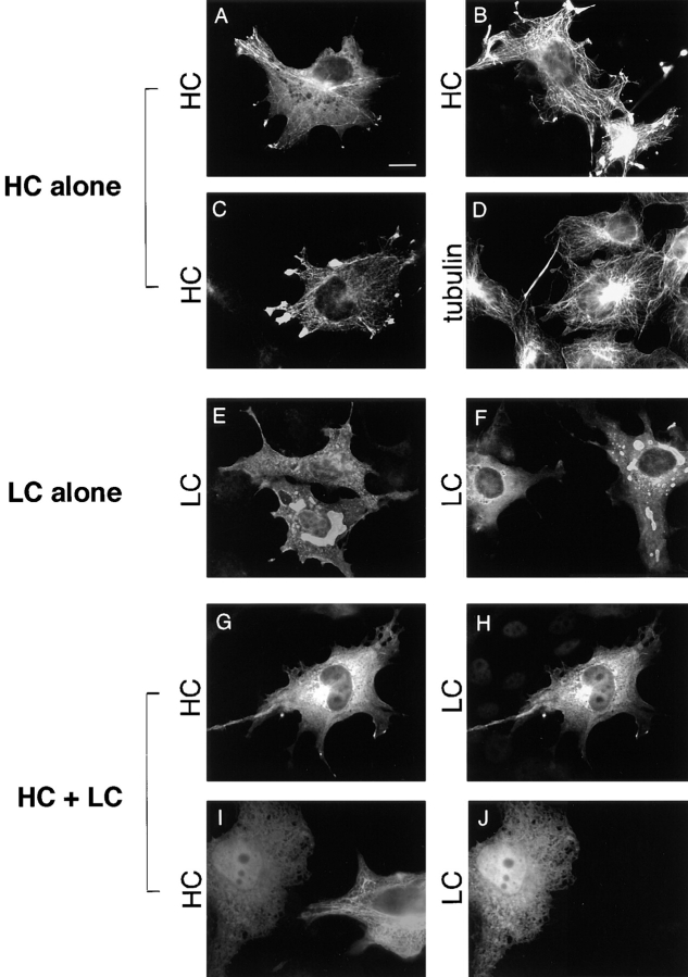 Localization of HC expressed alone, LC expressed alone, and HC and LC expressed together. COS cells were transiently transfected with plasmids encoding HC alone ( A–D ), LC alone ( E and F ) or both HC and LC ( G–J ). The expressed proteins were localized by immunofluorescence microscopy. ( A and B ) HC was detected with an anti–myc monoclonal antibody followed by Rhodamine Red-X–labeled anti–mouse secondary antibody. ( C and D ) Cells were double labeled for HC and MTs. HC was detected with anti–myc polyclonal and Oregon green 488–labeled anti–rabbit antibodies, and tubulin was detected with antitubulin monoclonal and Rhodamine Red-X–labeled anti–mouse secondary antibodies. ( E and F ) LC was detected with anti–HA polyclonal and Oregon green 488–labeled anti–rabbit secondary antibodies. ( G–J ) Cells were double labeled for HC and LC. HC was detected with anti–myc monoclonal and Rhodamine Red-X–labeled anti–mouse antibodies, and LC was detected with anti–HA polyclonal and Oregon green 488– labeled anti–rabbit secondary antibodies. Bar, 10 μm.