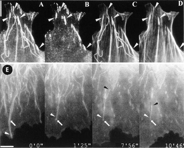 Stabilization of microtubules at focal adhesions. (A–D ) Figure shows a 3T3 fibroblast that was fixed and triple labeled for actin ( D ), paxillin ( B ), and tubulin ( A and C ) after treatment with 1.5 μg/ml <t>nocodazole</t> for 10 min. All peripheral microtubules disassembled, except those whose ends targeted focal adhesions ( arrowheads ). ( E ) Video sequence showing the stabilization of a shrinking microtubule at a focal adhesion. Goldfish fibroblast co- injected with vinculin and tubulin. Frames are taken from a video sequence for which nocodazole (1.5 μg/ ml) was added at time 0. One of a pair of microtubules that extended to the periphery at the beginning of the sequence ( white arrowhead ) was prevented from shrinking beyond an adhesion site over which it passed ( arrow ). Eventually, it shrank into this adhesion site via depolymerization at its minus end ( black arrowhead ). Bars, 5 μm.