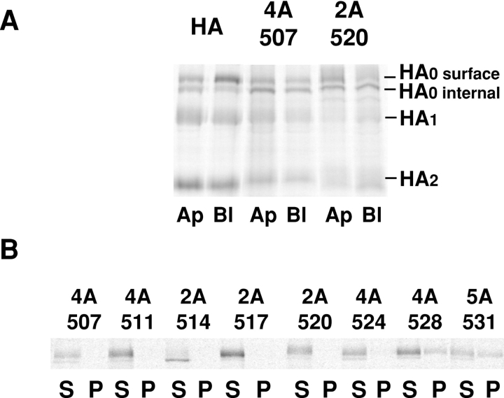 Mutations in the HA TM affect transport to the apical cell surface and solubility in Triton X-100. ( A ) MDCK monolayers expressing the HA types shown were grown on filter culture inserts for 5 d and then subjected to a pulse-chase protocol in which trypsin was present during the chase in either the apical ( Ap ) or basolateral ( Bl ) compartment. After the chase, HAs were immunoprecipitated, separated by PAGE, and then analyzed by a PhosphorImager. A representative image comparing HA and two mutants is shown. ( B ) MDCK cells expressing the mutants shown were pulse-labeled and chased for 40 min, then the cells were lysed in 1% Triton X-100 on ice. The cell lysate was centrifuged in a <t>microfuge</t> and separated into supernatant ( S ) and pellet ( P ) fractions. HA was immunoprecipitated from each fraction and analyzed as in A .