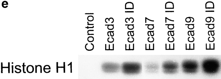 Increased p27 binding to cyclin E mediates reduced Cyclin E–associated kinase activity in aggregated cells. ( a ) Cyclin E–associated cdk2 kinase activity, as measured by phosphorylation of Histone H1 substrate in representative neomycin-resistant control transfectants ( neo1 , neo4 , neo8 ) or E-cadherin transfectants (Ecad1, Ecad9, Ecad18) grown in three-dimensional culture. Also included are Pc5-T cells grown in monolayer (2-D) culture, or in three-dimensional culture in either the presence or absence of hyaluronidase (Hy). ( b ) Increased levels of p27 bound to cyclin E in tightly adherent EMT/6 spheroids. After immunoprecipitating cyclin E from tightly- or loosely adherent aggregates, levels of cyclin E–bound p27 were detected by immunoblotting. Cell-free lysis buffer was used for the control sample. ( c ) Immunodepletion of p27 from aggregated E-cadherin transfectants. Cell extracts immunodepleted one (1×) or two (2×) times with antibodies against p27 were probed for p27 by immunoblotting. Controls ( Con ) represent extracts before immunodepletion ( d ). Cyclin E, cyclin E–associated cdk2, and p27 are markedly reduced in p27-immunodepleted ( ID ) supernatents from E-cadherin–aggregated cells. Cyclin E immunoprecipitates from lysates with or without prior immunodepletion with p27 antibodies were probed for cyclin E, cdk2, or p27 by immunoblotting. As a control, Ecad9 lysates were immunoprecipitated with nonspecific rabbit IgG antibodies instead of cyclin E antibodies. ( e ) Cyclin E–associated cdk2 kinase activity is increased after p27-immunodepletion ( ID ) of E-cadherin–arrested cells. The representative control in this experiment was Ecad7 lysate immunoprecipitated with nonspecific rabbit IgG antibodies instead of cyclin E antibodies. In each of these experiments cells were cultured for 48 h in three-dimensional culture.