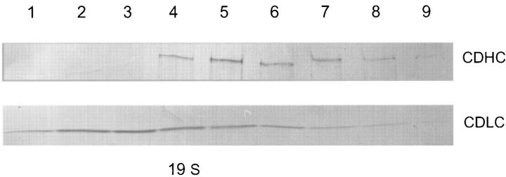Sucrose gradient sedimentation profiles of the NUDA and NUDG proteins. A sample from each of the top nine fractions from the gradient was subjected to <t>SDS-PAGE</t> and Western blotted with antibody against the nudA CDHC or the nudG 8-kD CDLC.